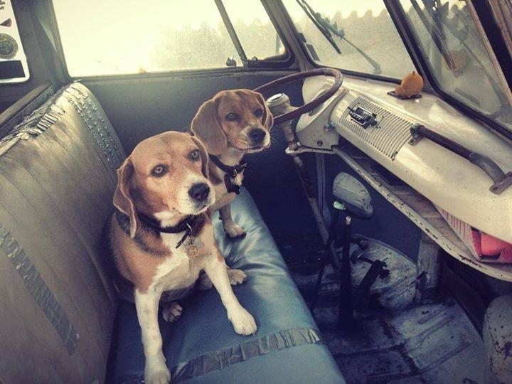 DOG (Beagle) 'n Da 1960 Bulli