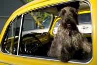 Dog in my vw