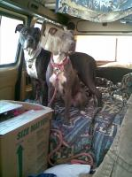 dogs in the van