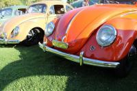 Orange Split Window Beetle