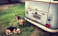 1960 Kombi and some beagles