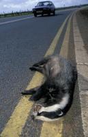 badger panel...