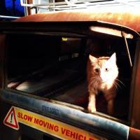Barndoor gato