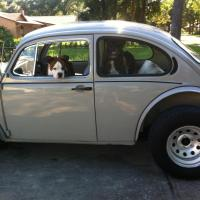 Boxer in a bug