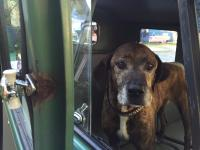 Plott Hound in Double Cab
