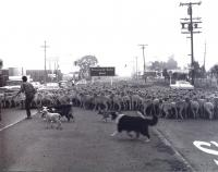 Sheep at Moorpark Rd & Thousand Oaks Bl, 1965