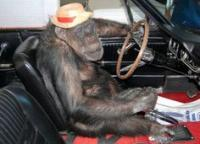 monkey driving car