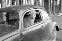 Goat In 40's Beetle
