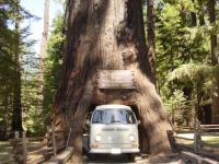 Driving thru tallest tree in Legget, CA