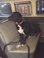 Ringo, Great Dane Bus Dog