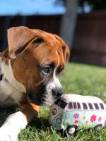 My puppy boxer and his toy