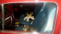 cats in the car