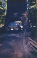 181 in Chandelier Tree Norther California