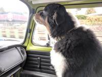 Dog in van