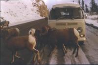 Bay Window Bus with rams