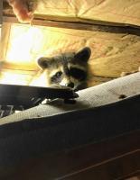 raccoon on westy mattress