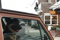 Cambria German Shepherd