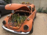 1972 Vw Succulent Cactus Beetle