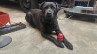 Meet Tig, the Haptic Garage shop dog
