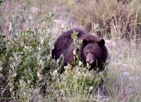 A bear in RMNP