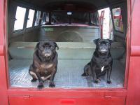 My two pugs like my kombi
