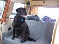 The Mutt in the Westy