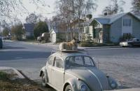 Dog riding a Beetle in Alaska in the 60s