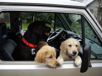 dogs in vanagon