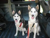 dogs in the syncro & westy